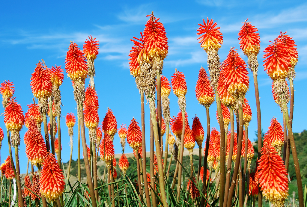 red hot pokers, otago peninsula, New Zealand